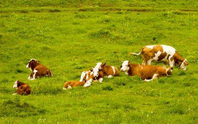 Bike tour Velika Planina with cows