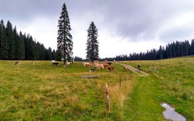 bike tour Bled with cows